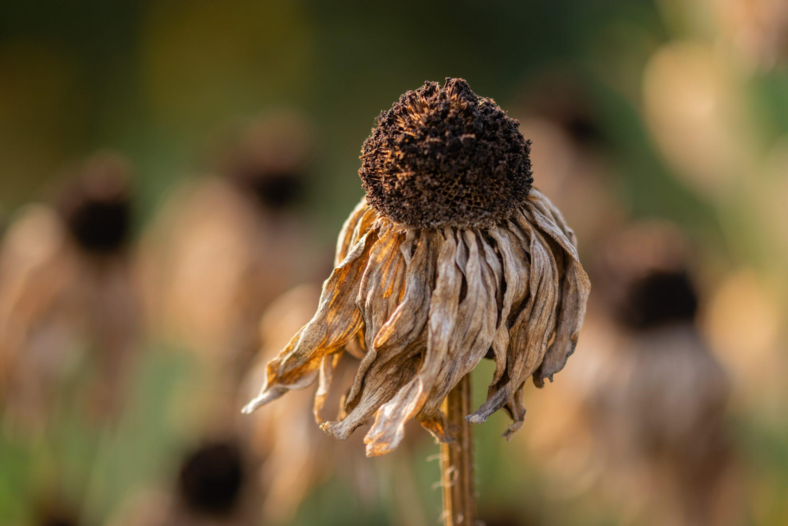 Fleur sèche et fanée